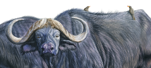 wildlife painting african buffalos