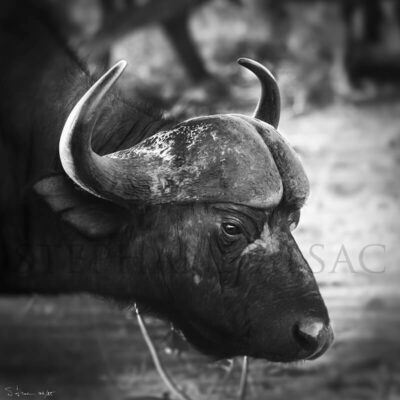 Buffalo-photo-B&W