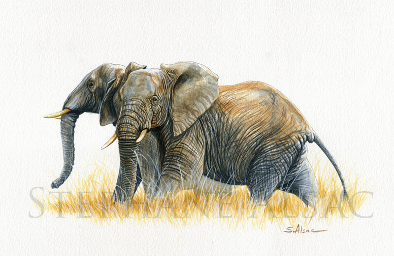 Deux-elephants-aquarelle