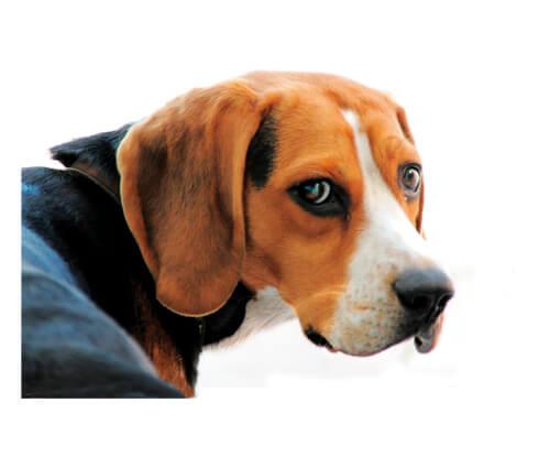 dog portrait : Beagle