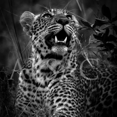 Mawa-leopard-photo-Black-White