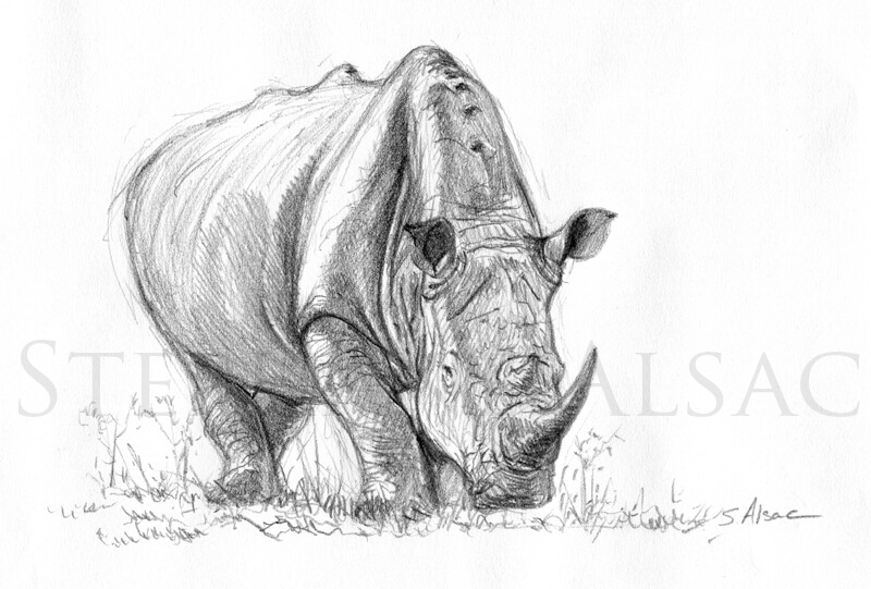 Etude de rhino dessin original de st phane alsac - Rhinoceros dessin ...