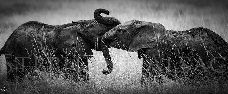 afrique-photo-noir-et-blanc-elephant-panoramique