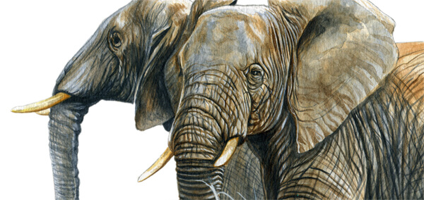 watercolor elephant detail