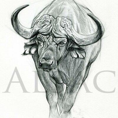 buffle-caffer--afrique-dessin-illustration