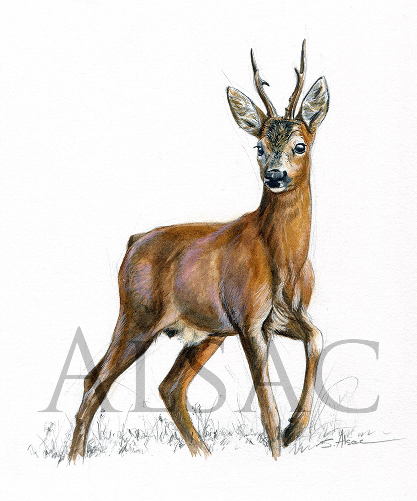 Male roe deer watercolor st phane alsac - Comment dessiner un cerf ...