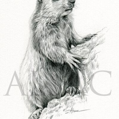 dessin-art-animaux-france-montagne-marmotte