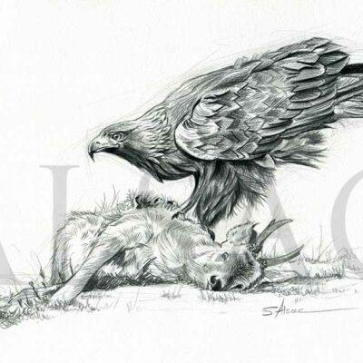 illustration-eagle-kill-drawing-wildlife-art