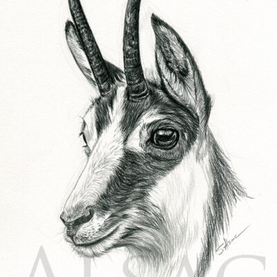 mountain-goat-drawing-sketch-art