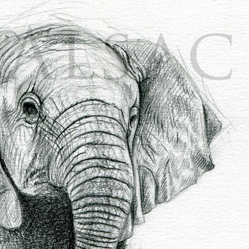 L phanteau st phane alsac - Elephant image dessin ...