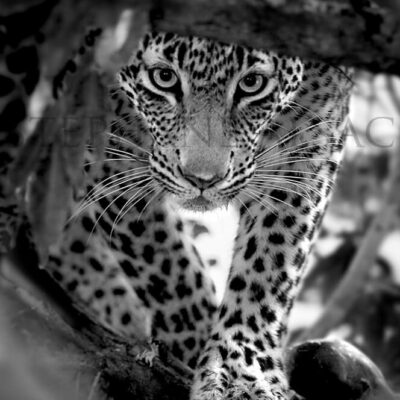 photo-leopard-nyeleti