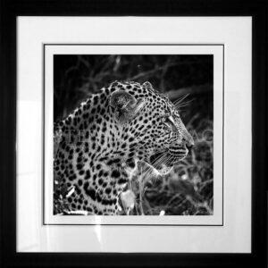 photo-leopard-xiviti1-B&W-cadre