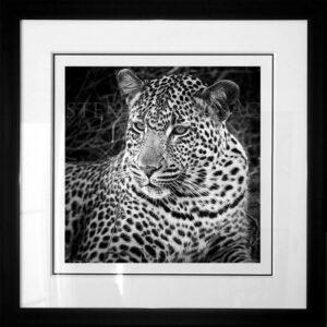photo-leopard-xiviti2-B&W-cadre