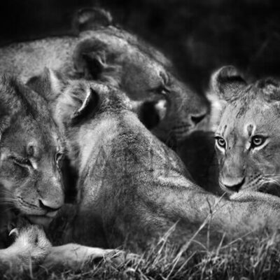 photo-lionceau-free-hugs-noir-et-blanc