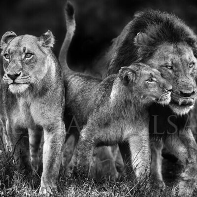photo-lion-family-Majingilane-pride