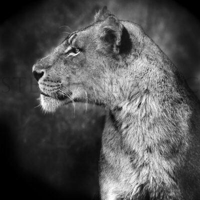 photo-lioness-alsac