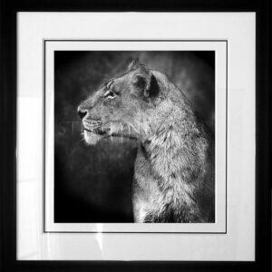 photo-lioness-alsac-cadre