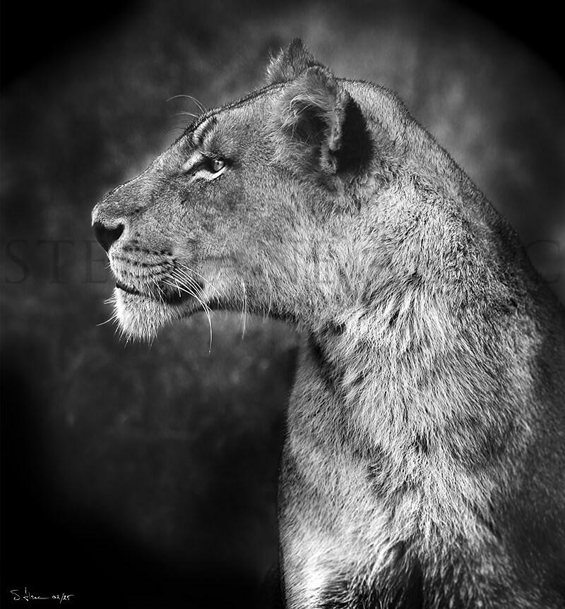 """""""lioness"""" - Stéphane Alsac"""