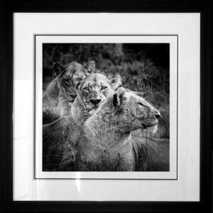 photo-lionnes-mothers-N&B-cadre