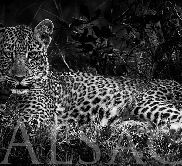 photography-black-and-white-leopard-africa-2
