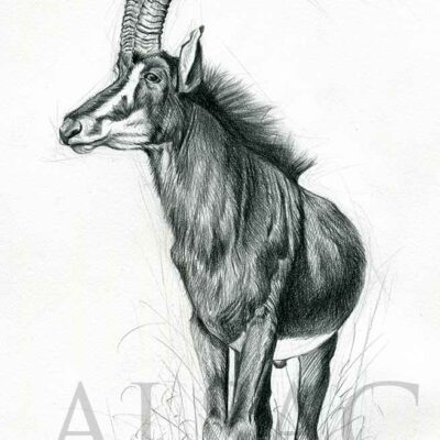 sable-antelope-illustration-sketch-wildlife-artist