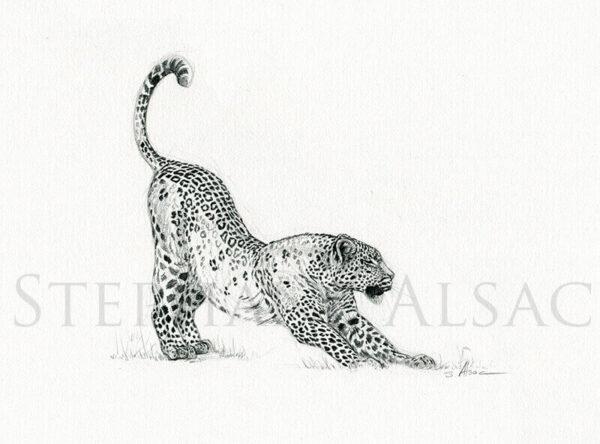 stretching-leopard-dessin-croquis