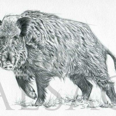 sus-scrofa-anatomy-sketch-drawingjpg