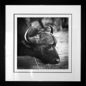 Buffalo-photo-B&W-cadre