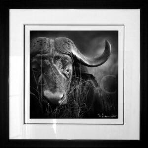Photographie-Noir-et-blanc-vieux-buffle-Old-cape-wildlife