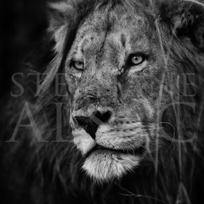 africa-photography-black-and-white-lion-portrait