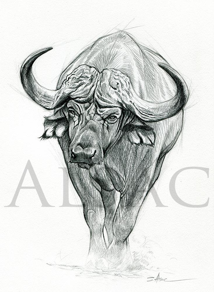d03db2d15 African Buffalo Illustration by Stéphane Alsac