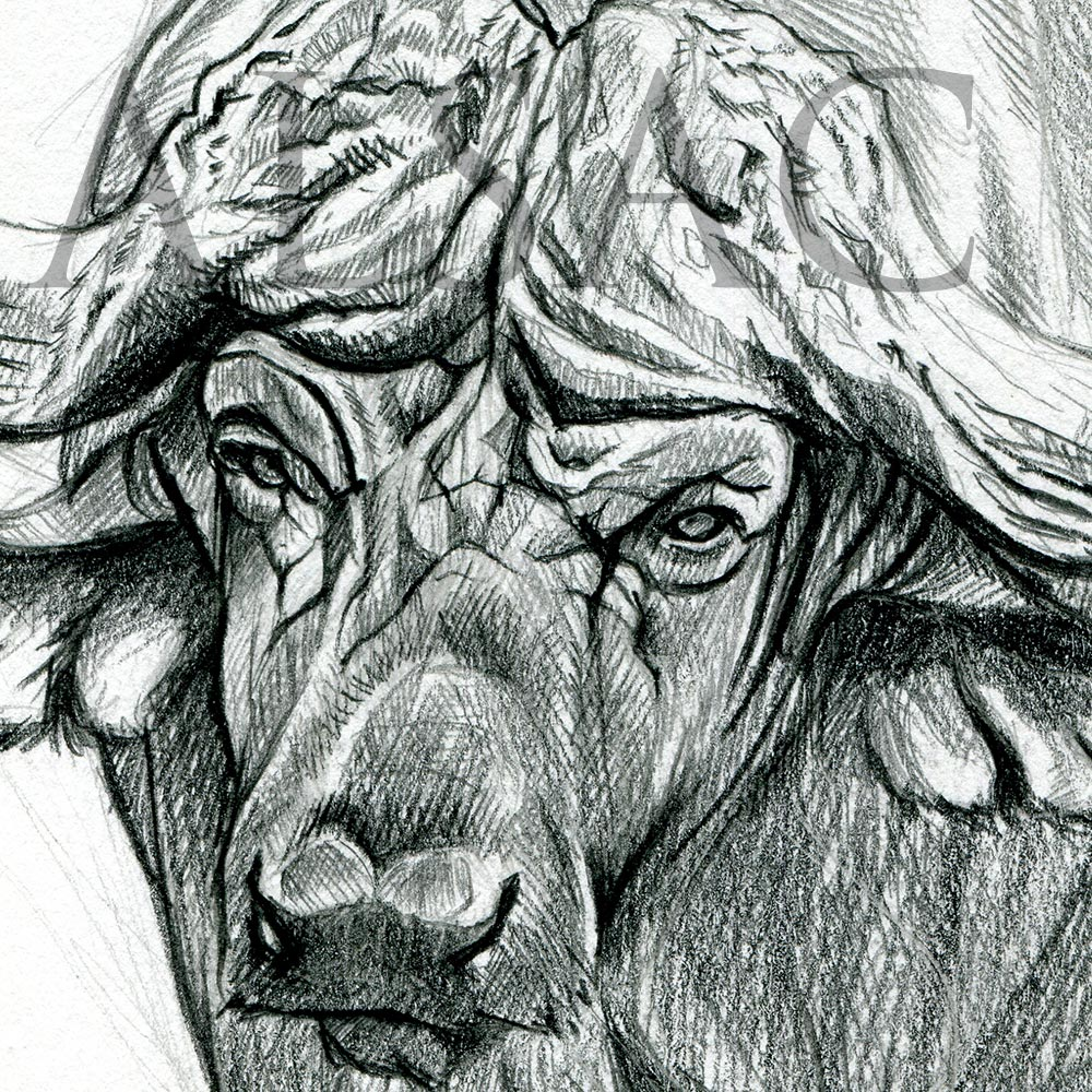 African Buffalo Illustration by Stéphane Alsac