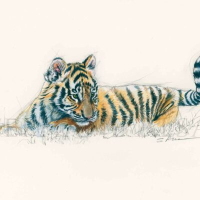 sketch-watercolor-baby-tiger-cub-born-gift