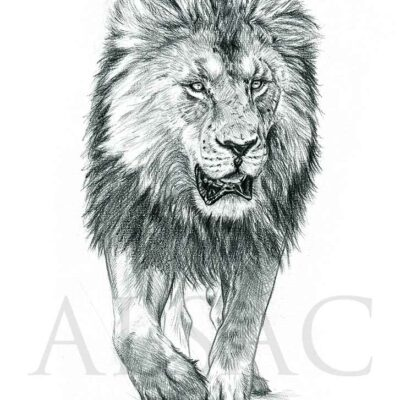 croquis-dessin-illustration-lion-felin-artiste-illustrateur