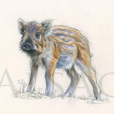 croquis-naturaliste-petit-sanglier-marcassin-artiste-animalier