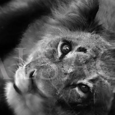 deep-eye-photo-noire-et-blanc-lion-afrique