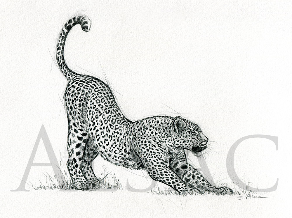 Stretching leopard st phane alsac - Animal dessin ...