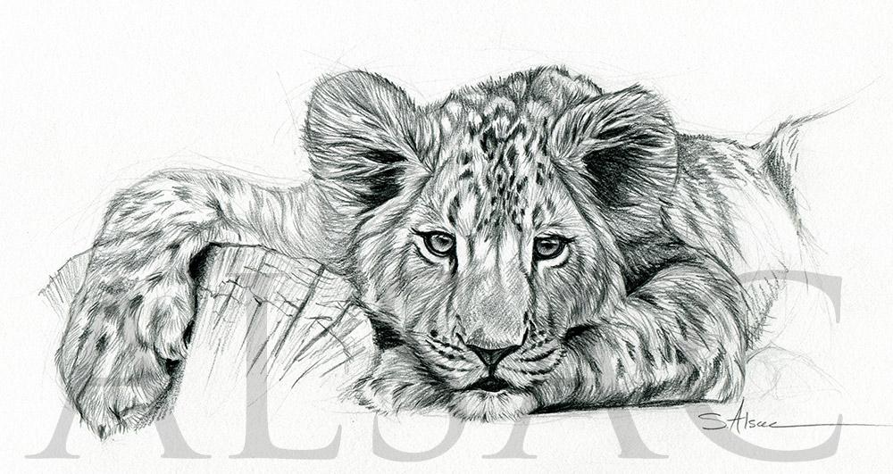 Lionceau Paresseux Stephane Alsac
