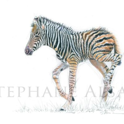 dessin-ilustration-bebe-zebre-illustrateur-animalier