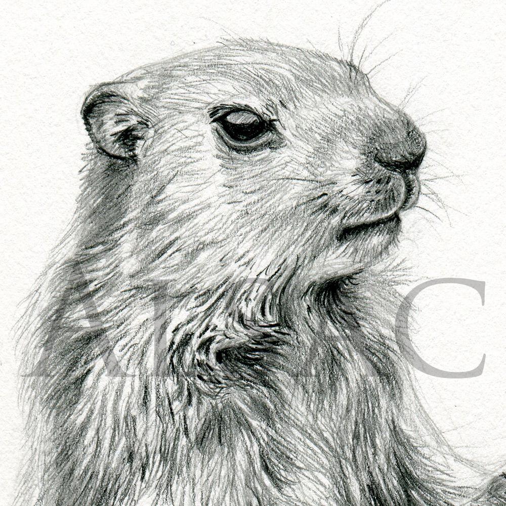 Marmotte Stephane Alsac