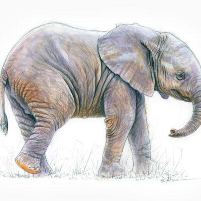 dessin-naturaliste-illustration-petit-elephant-1