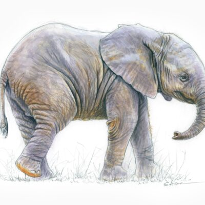 drawing-illustration-baby-elephant