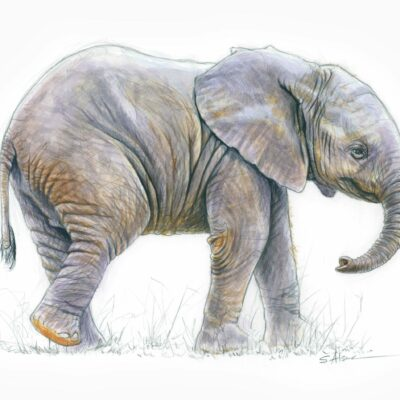 dessin-naturaliste-illustration-petit-elephant