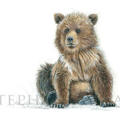 dessin-naturaliste-ours-illustrateur-animaux