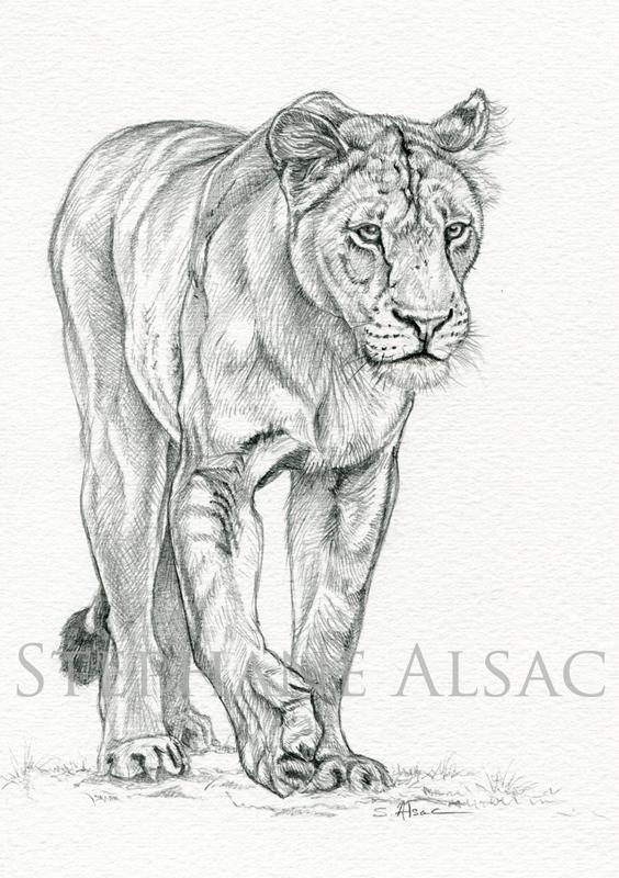 Etude de lionne dessin original de st phane alsac - Lionne dessin ...