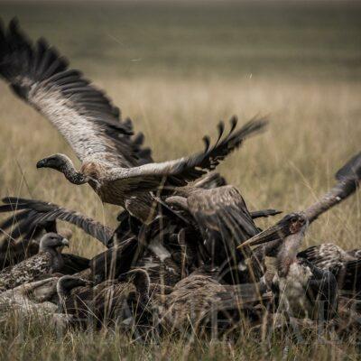 festin-vautours-afrique-photo-noir-blanc-take-off-carcasse-