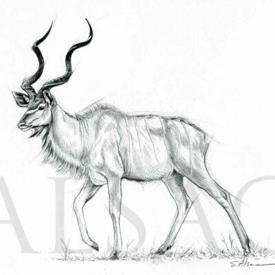 grand-koudou-dessin-croquis-anatomique