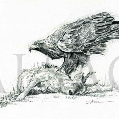 illustration-eagle-kill-drawing-wildlife-art