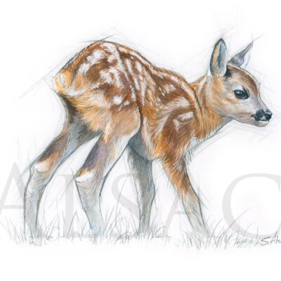 illustration-painting-baby-fawn-deer-stephan-alsac