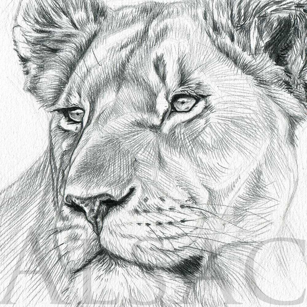 Lioness Portrait Illustration By Stephane Alsac Wildlife Artist